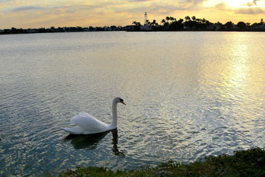 Swan at sunrise on the Coral Bay lake